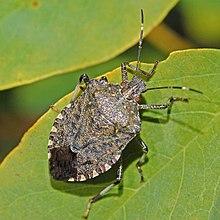 brownstinkbug.JPG