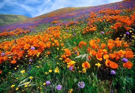 californiapoppy.jpg