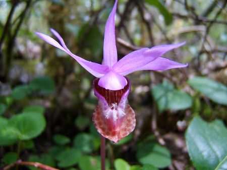 calypso orchid.png