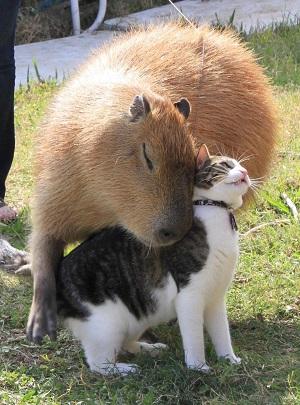 capyncat.jpg