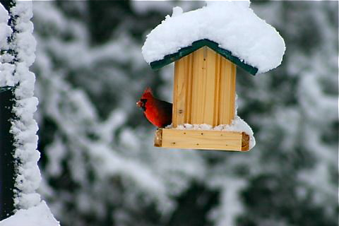 cardinal-at-feeder.jpg