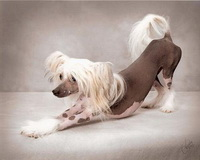 chinese_crested_hairless.jpg