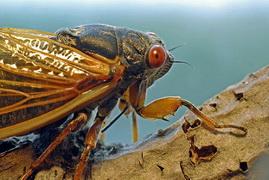 cicada2011.jpg