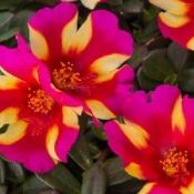 colorblast_watermel.jpg