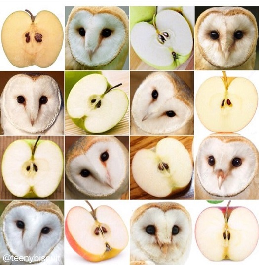 comparison - apple or barn owl.jpg