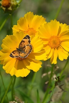 coreopsis-with butterfly.jpg