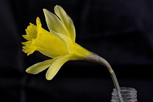 daffodil3-.jpg
