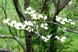 dogwoodtreespringflowers.jpg