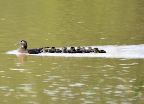duckilly2.jpg