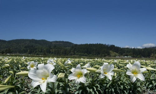 easter-lily-fields.jpg