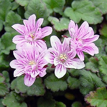 erodium double.jpg