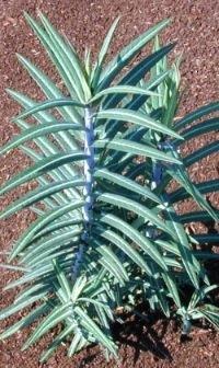 euplathryusyoungplant.jpg