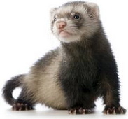 ferret38index.jpg