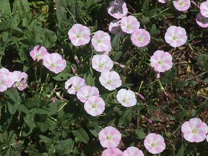 fieldbindweed.jpg