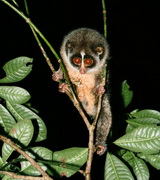 first-pictures-ever-horton-plains-slender-loris_23487_600x450.jpg