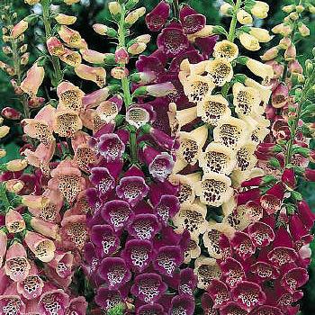 foxglove-excelsior-hybrids.jpeg