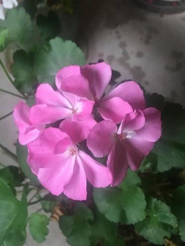 geraniumbase.jpg