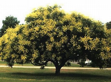 golden_raintree.jpg