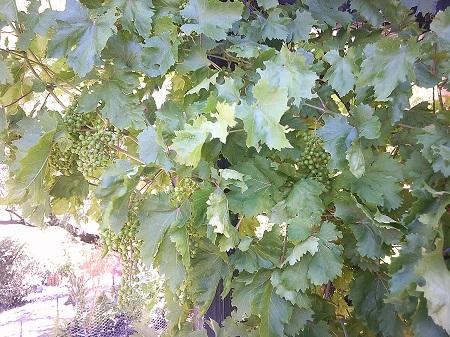 grapees.JPG