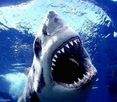 great-white-shark-3.jpg