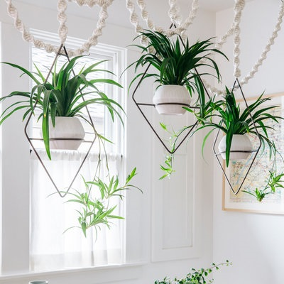 hanging-spider-plants.jpg