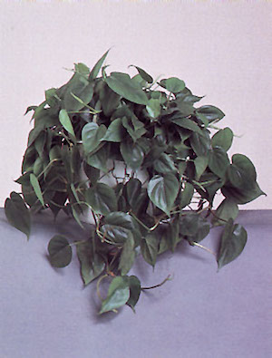 heartleafphilodendron.jpg