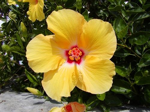 hibiscs1.jpg