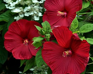 hibiscus-robert-fleming.jpg