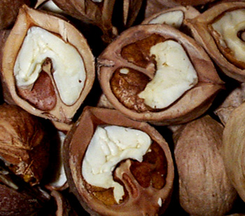 hickory_nuts_open_closeup.jpg