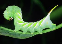 hornworm.jpg