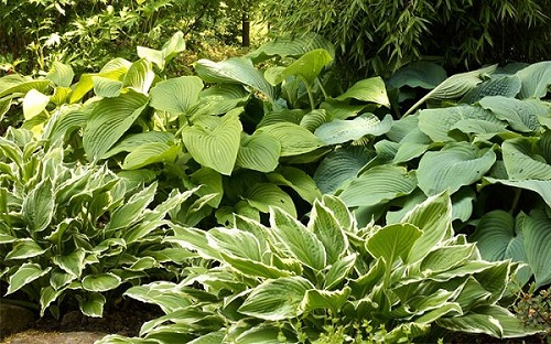 hosta-shade-garden.jpg