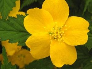kerria-japonica-golden.jpg