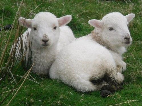 lambs11.jpg