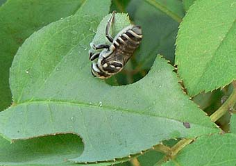 leafcutter-bee-and-leaf2.jpg