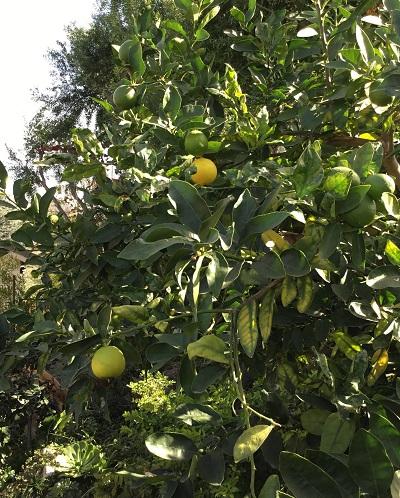 lemon2sc.jpg