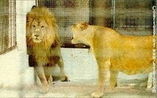 lion_and_lioness_during_marriage.jpg