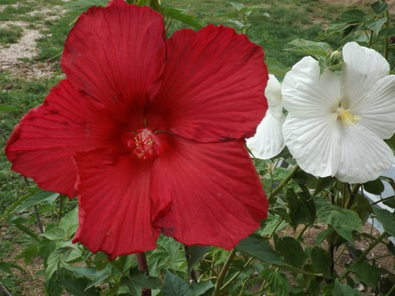lord-baltimore-hibiscus.jpg