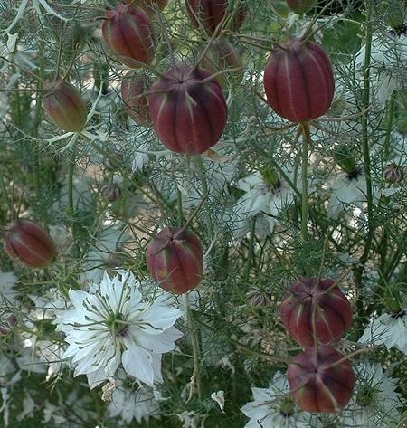 love_in_a_mist_cramer_s_plum_seeds.jpg