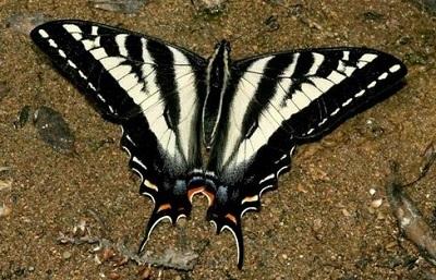 m_Pale_Swallowtail.jpg