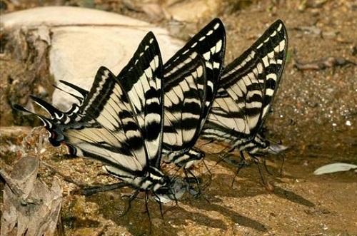 m_Pale_Swallowtail2.jpg