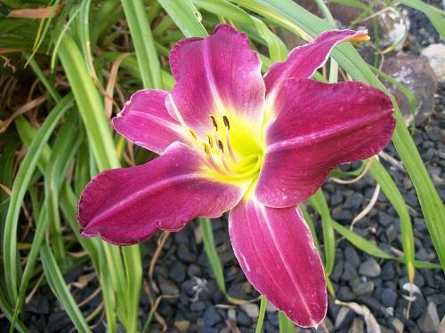 magdaylily.JPG