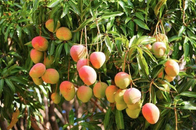 mango-tree.jpg