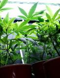 marijuana-062510-m.jpg