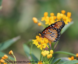 mexican-milkweed-silky-gold-g-300.jpg