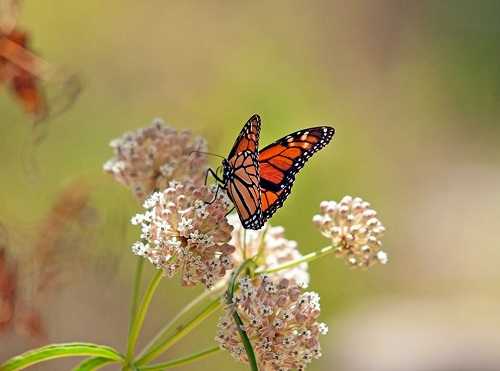 monarchsjk.jpg