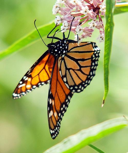 monarchsjk2.jpg