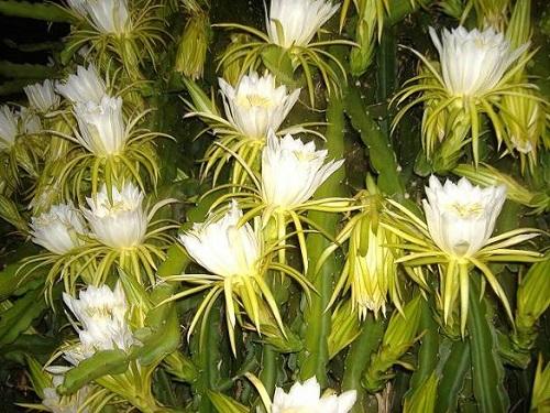 night_flowering_dragon_fruit.jpg