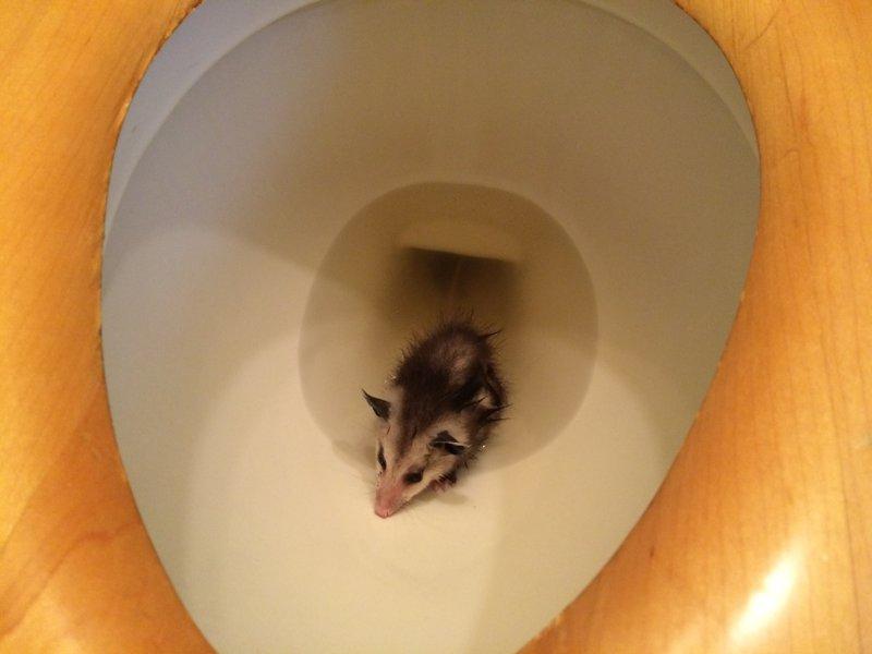 opossum_t.jpg