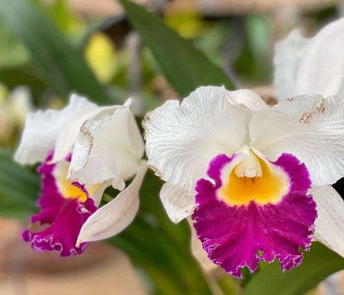 orchisd1.jpg