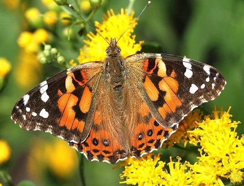 painted-lady-butterfly-woings-open.jpg